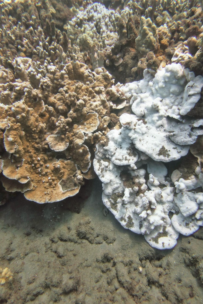 Healthy (left) and bleached (right) Montipora capitata colonies just offshore of Lahaina.