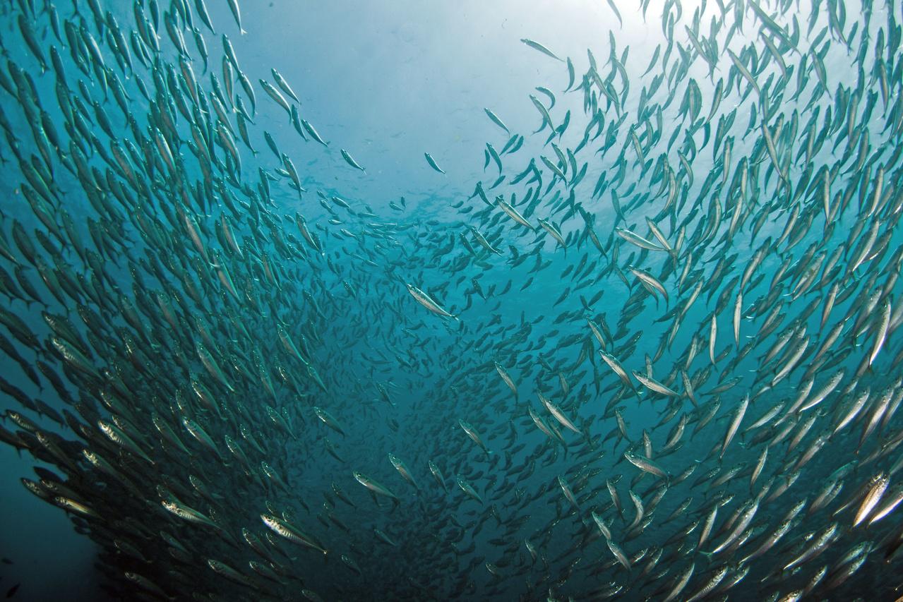 Jack mackerel schooling around Ship Rock