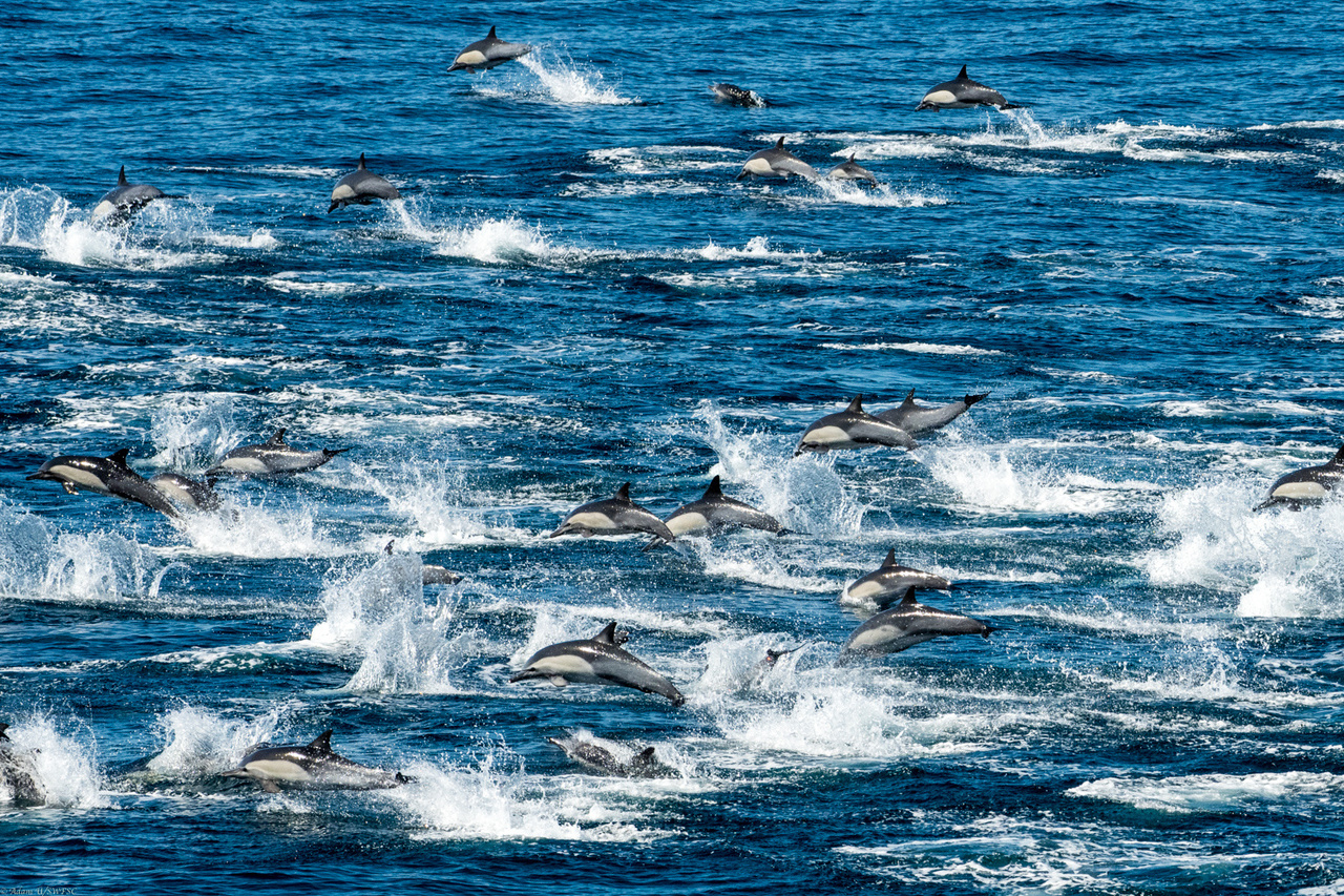 a pod of long-beaked common dolphins is seen jumping over the surface of the ocean.
