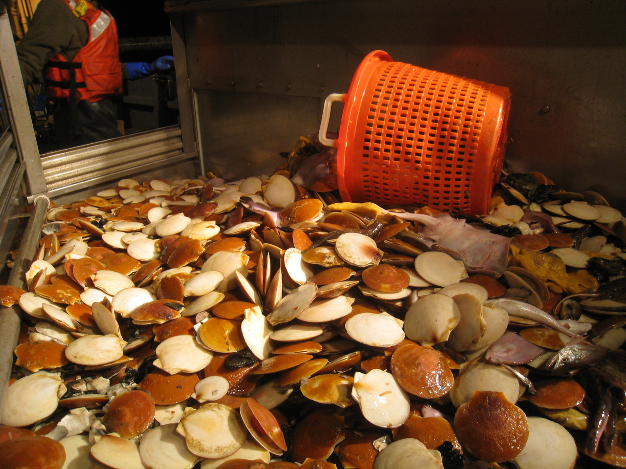 pile of scallops on deck