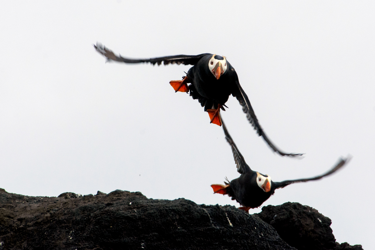 Tufted puffins on Bogoslof Island.