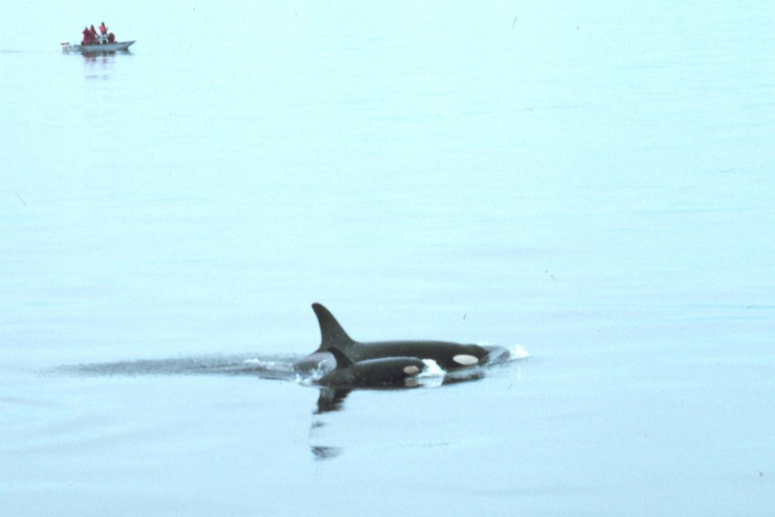 Observers_orca_calf_cropped.jpg