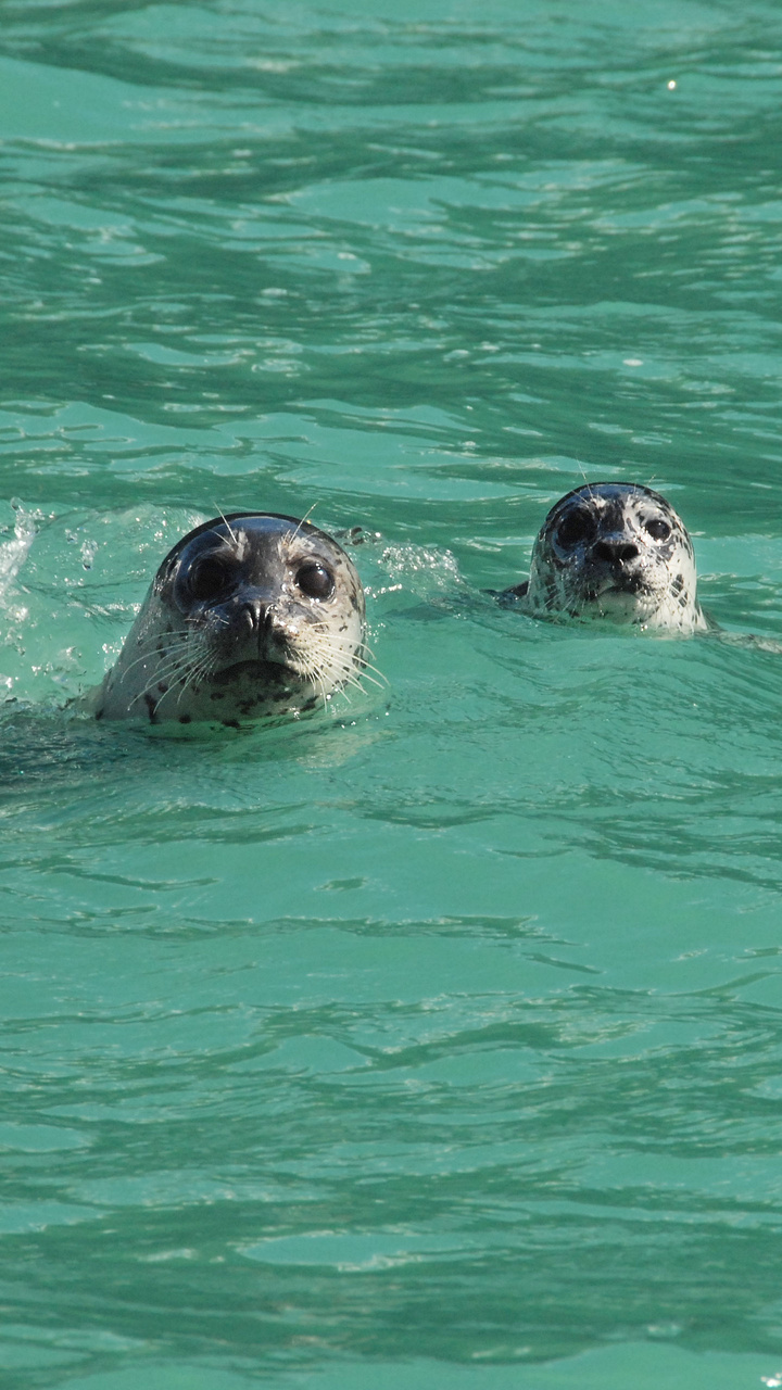 Harbor Seals in Green Waters of Glacial Fjord