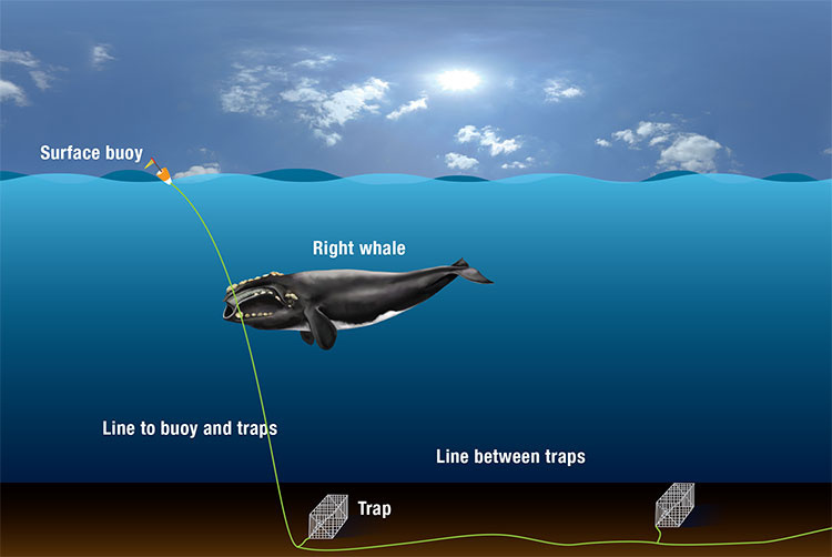 North Atlantic right whale entanglement illustration.