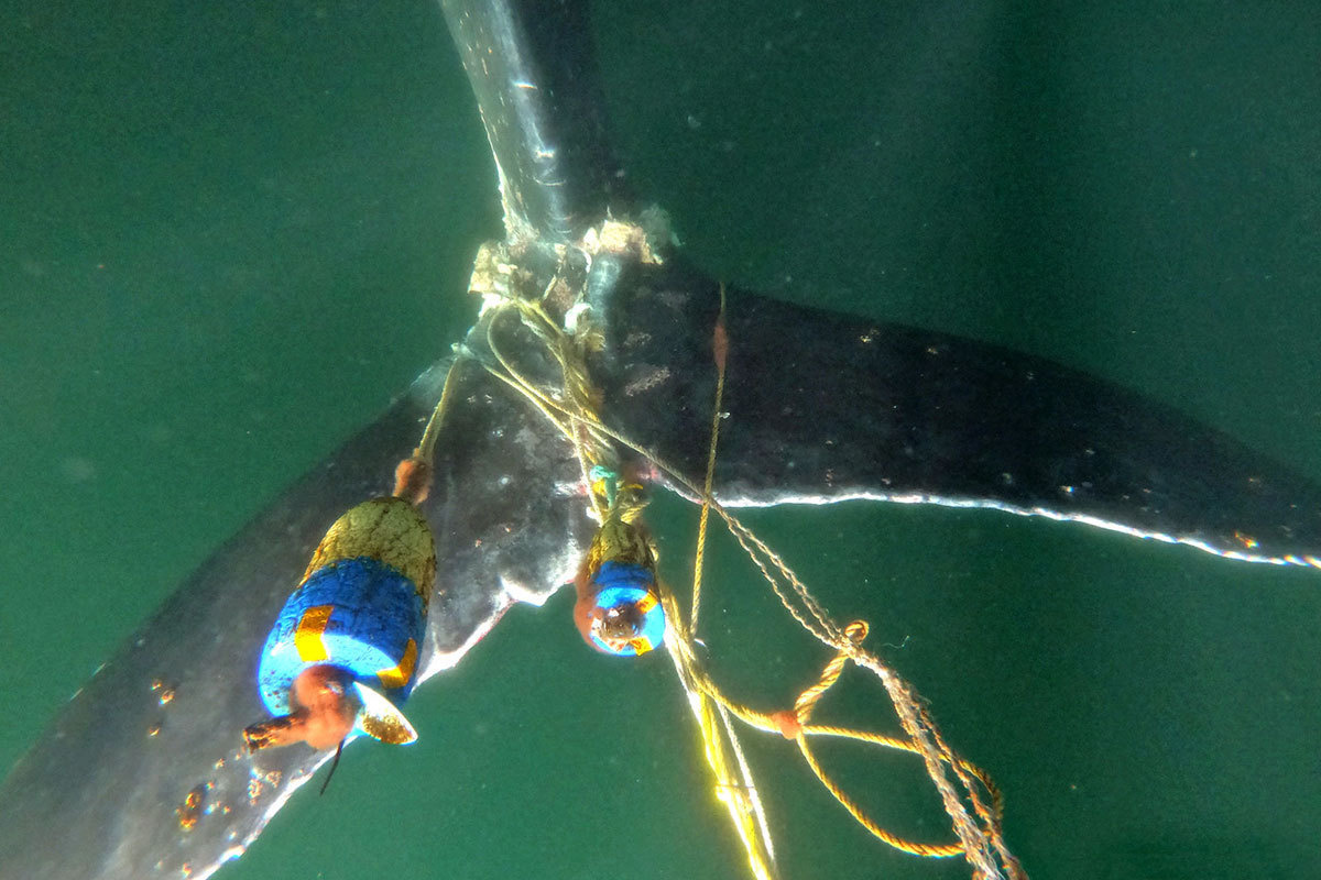 Entangled tail flukes