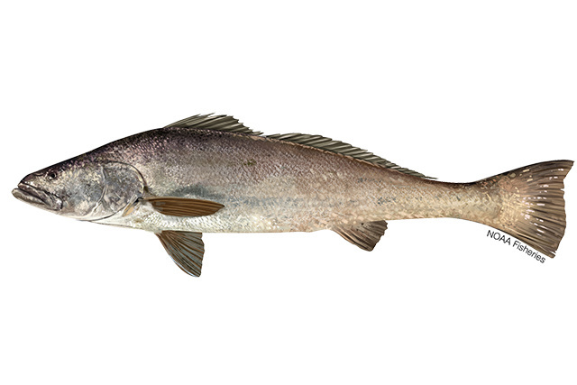 Totoaba illustration