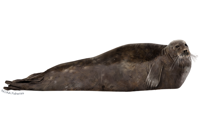 Bearded seal illustration