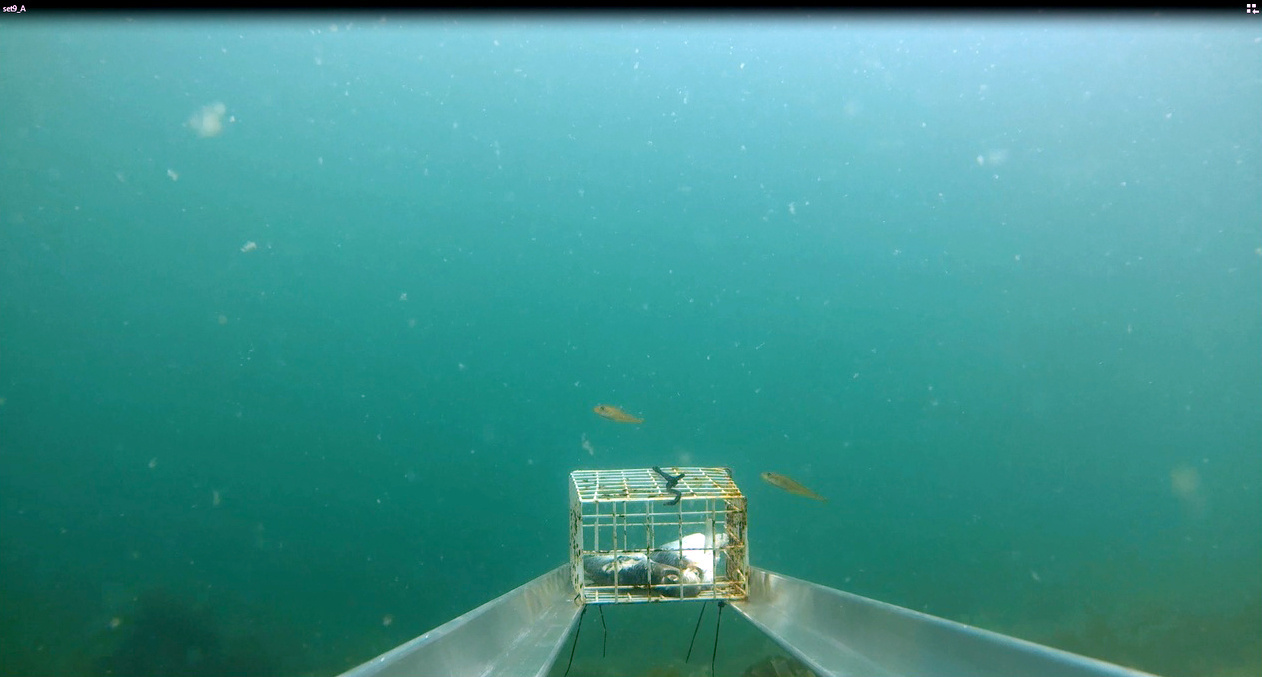 Age-0 Pacific cod are smaller (5-9 cm) and generally restricted to shallow depths. This set was deployed along the 3 m depth contour.