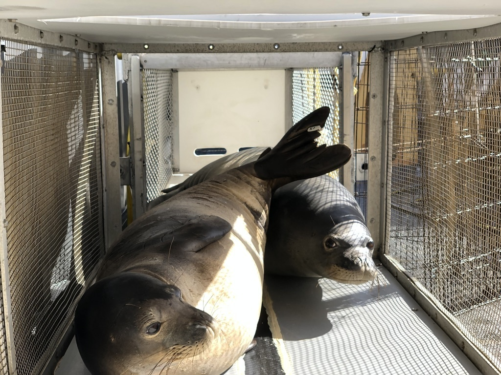 Rehabilitated monk seals, Maiapilo and ʻākulikuli, being transported to Laysan Island.