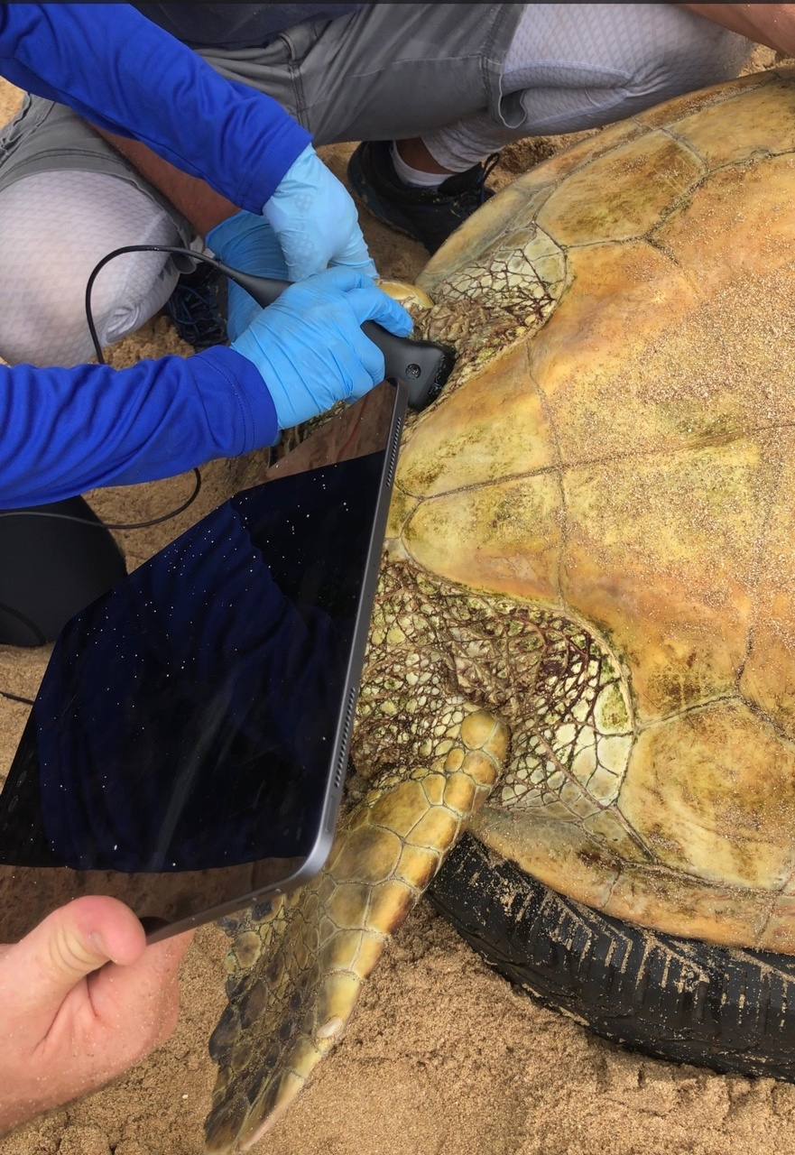 Underside of turtle shell and scientists hands with ultrasound probe.
