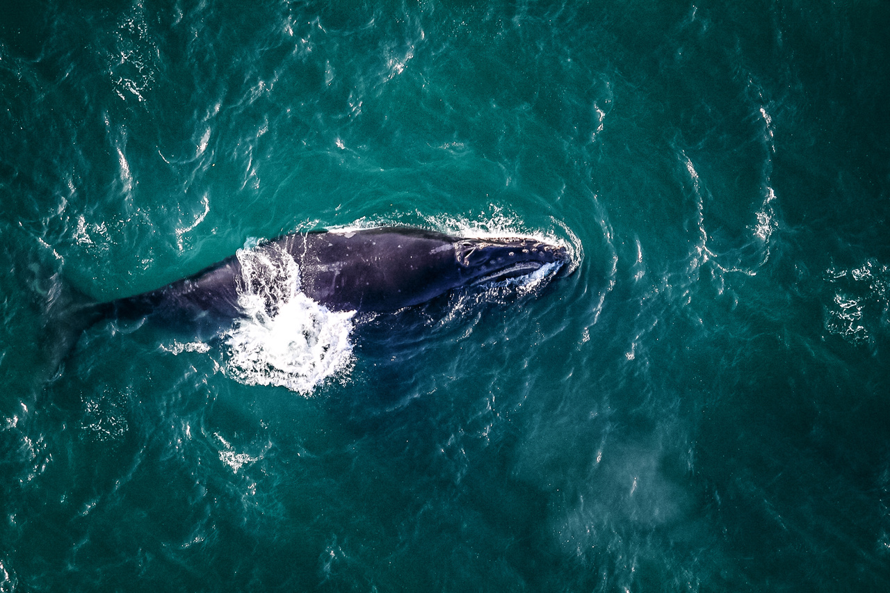 An aerial view of the North Pacific right whale.