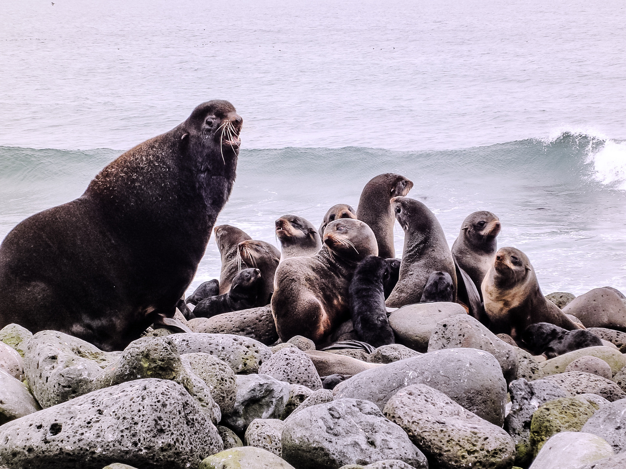 An adult male Northern fur seal with pups.