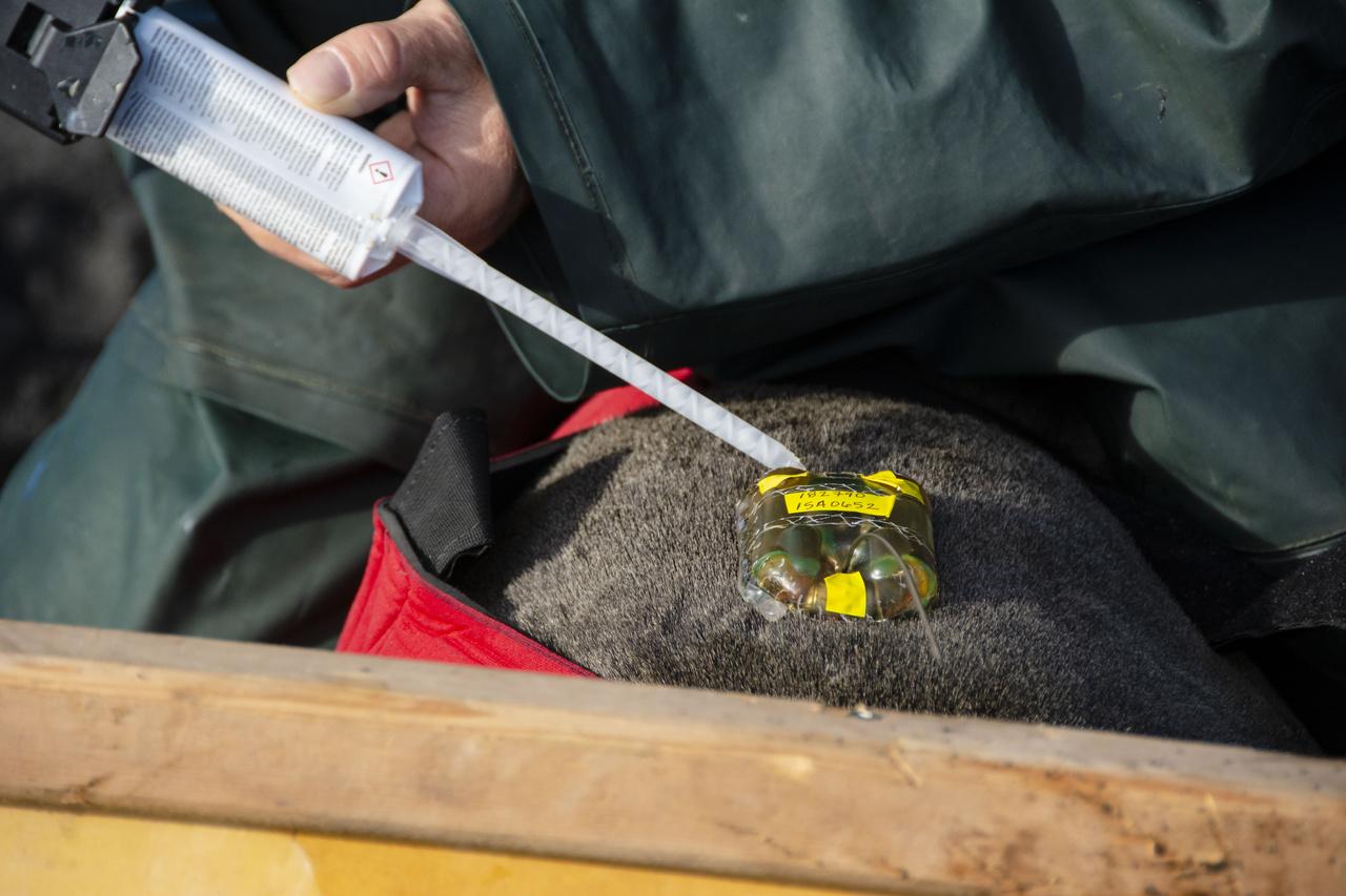 Placingsatellite tag on female fur seal.