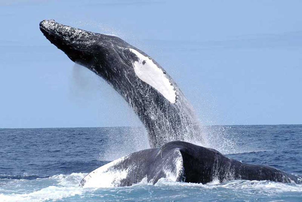 humpback breaching or jumping high out of the water