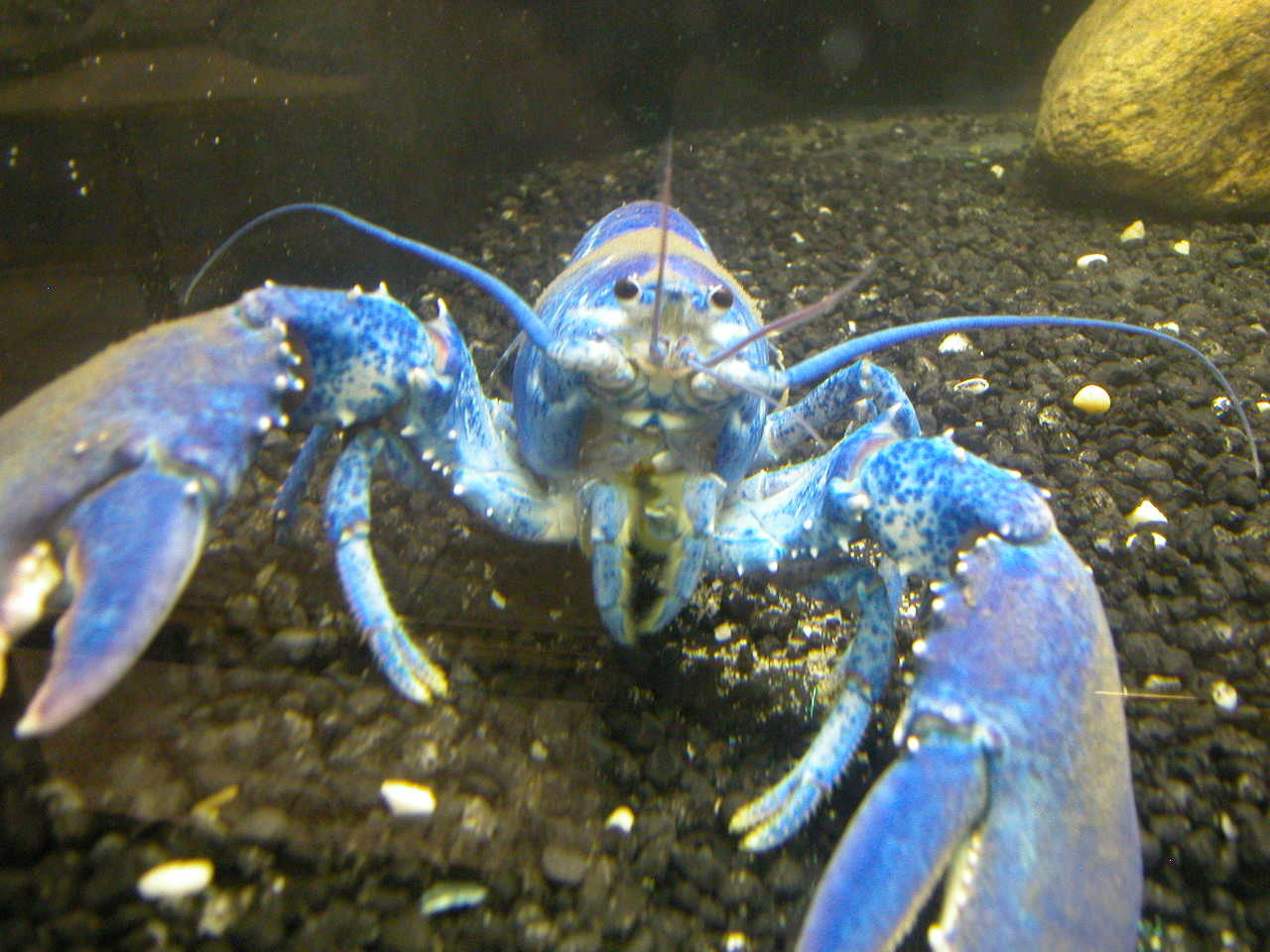 blue lobster looking at camera