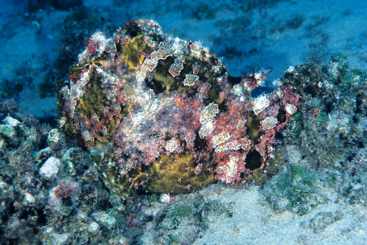 Commerson's frogfish (Antennarius commersoni), photographed at SCUBA-diving depths off O'ahu