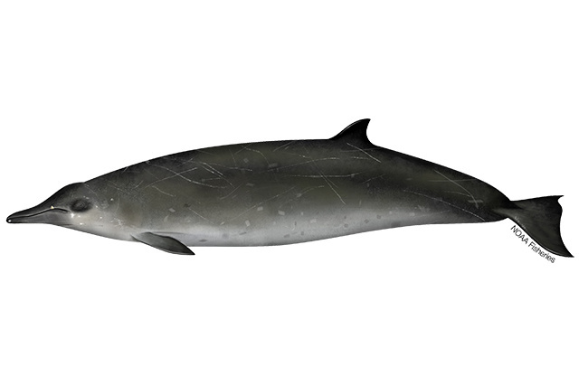 Illustration of Sowerby's beaked whale