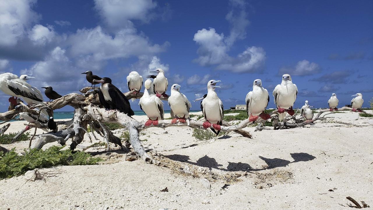 4032x2268-Tern Island Boobies.jpg