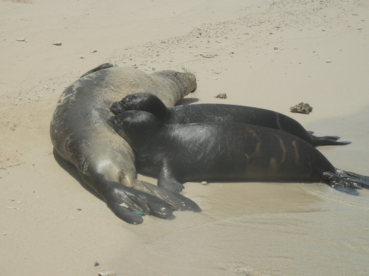 Hawaiian monk seal pup (possibly twins) nursing from mother, GV18.