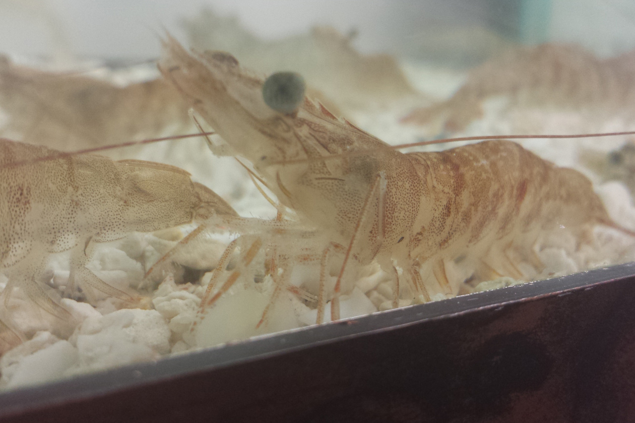 Pink shrimp in tank.