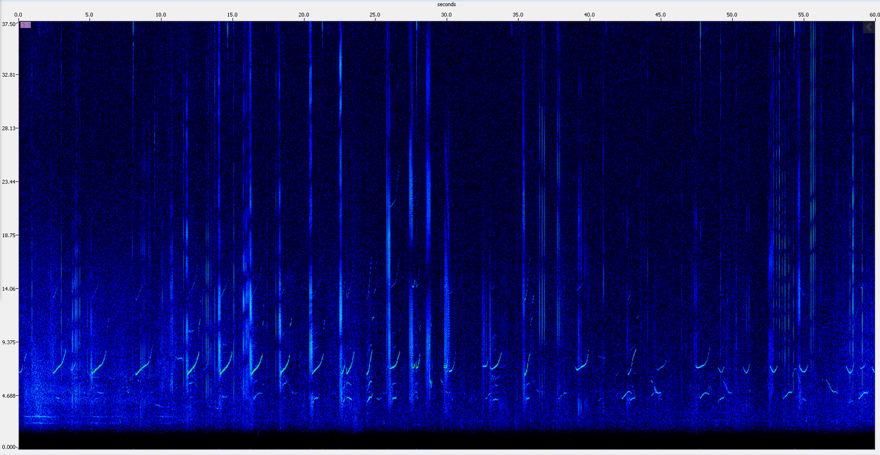 A spectrogram, or visual image, of echolocation clicks and whistles from false killer whales.