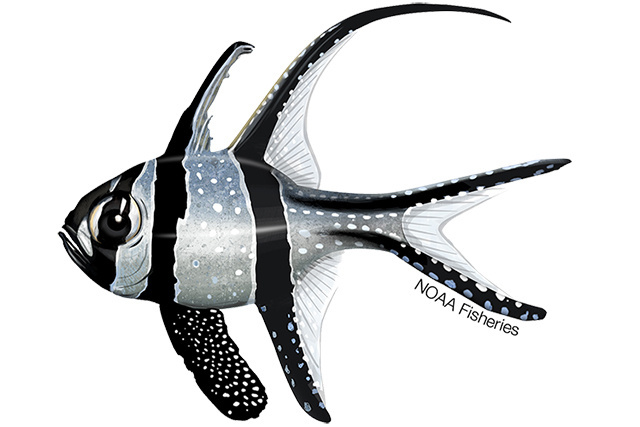 Illustration of Banggai Cardinalfish