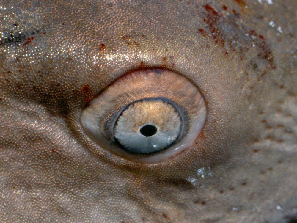 sand-tiger-shark-eye.jpg
