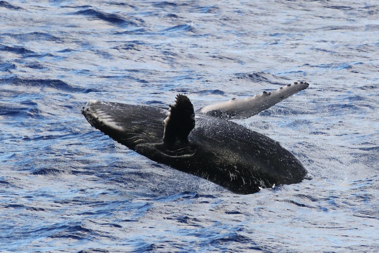 Humpback whale calf breaches in the Mariana Archipelago.