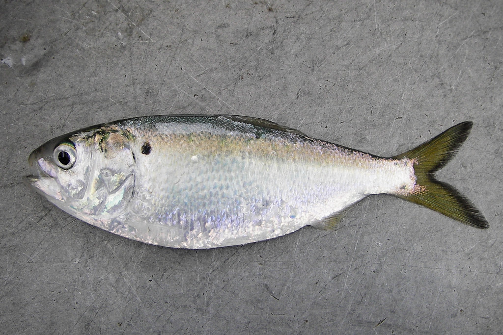 Image of an Atlantic menhaden laying on the deck of a ship showing distinct black shoulder spot behind the gill opening.