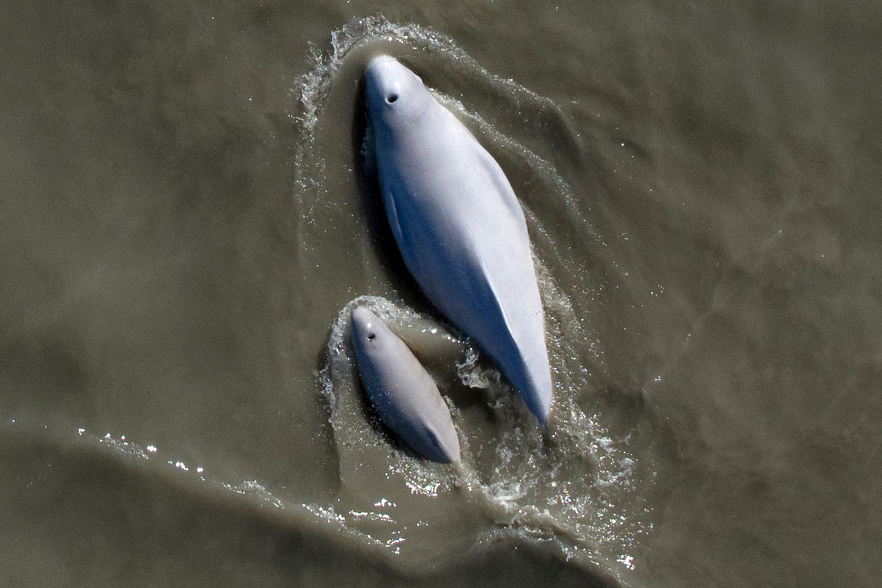 A Cook Inlet beluga whale mother and neonatal calf swim together. Credit: Hollis Europe & Jacob Barbaro/NOAA Fisheries.