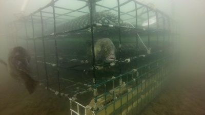 Underwater view of oyster cages.