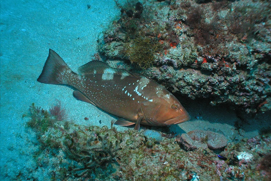 Red grouper swimming near a reef.
