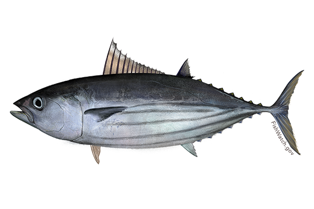 Atlantic skipjack tuna illustration