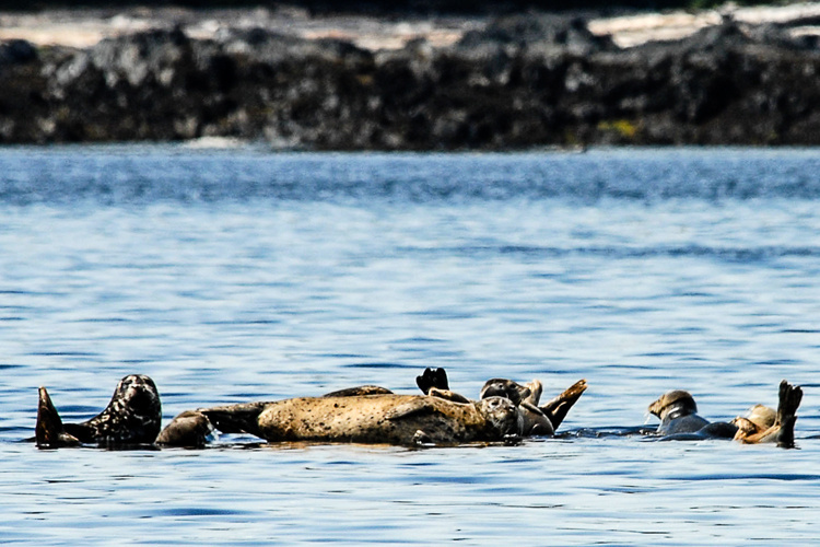 Studying At-Risk Harbor Seals in Western Aleutians, Photo by Dave Withrow