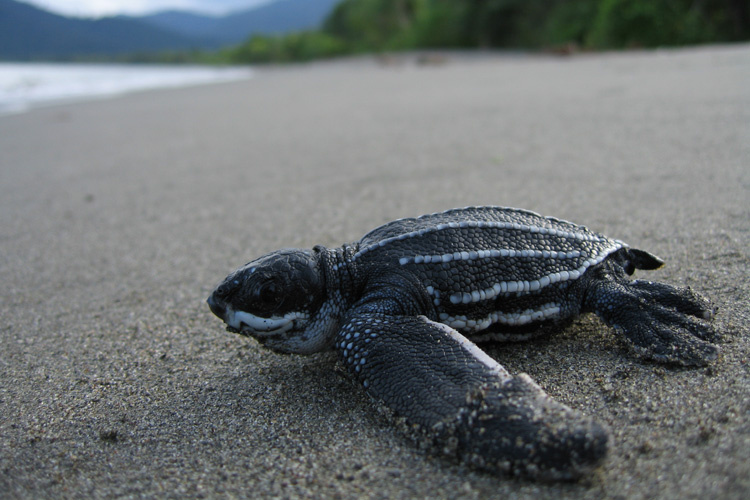 Leatherback turtle hatchling on beach.
