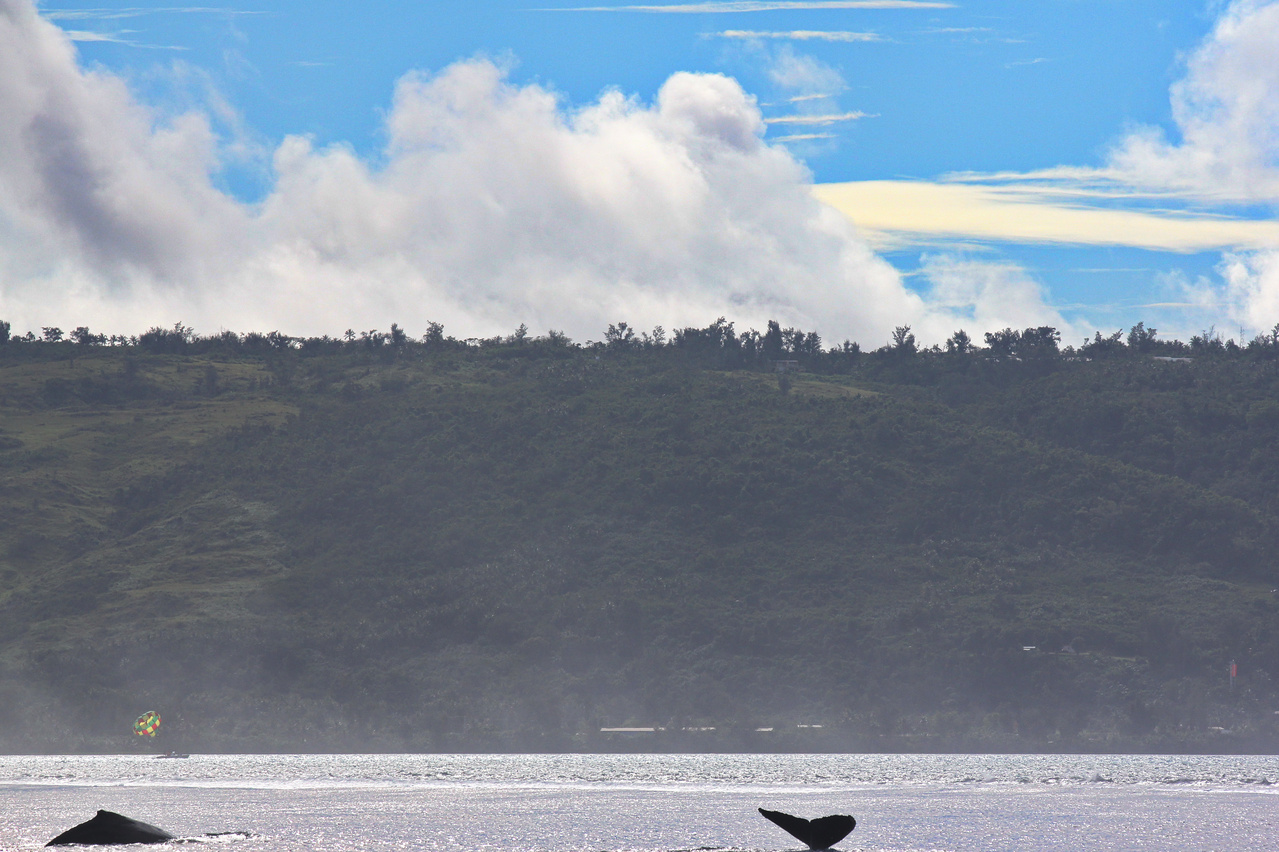 Two humpback whales off the coast of Saipan.