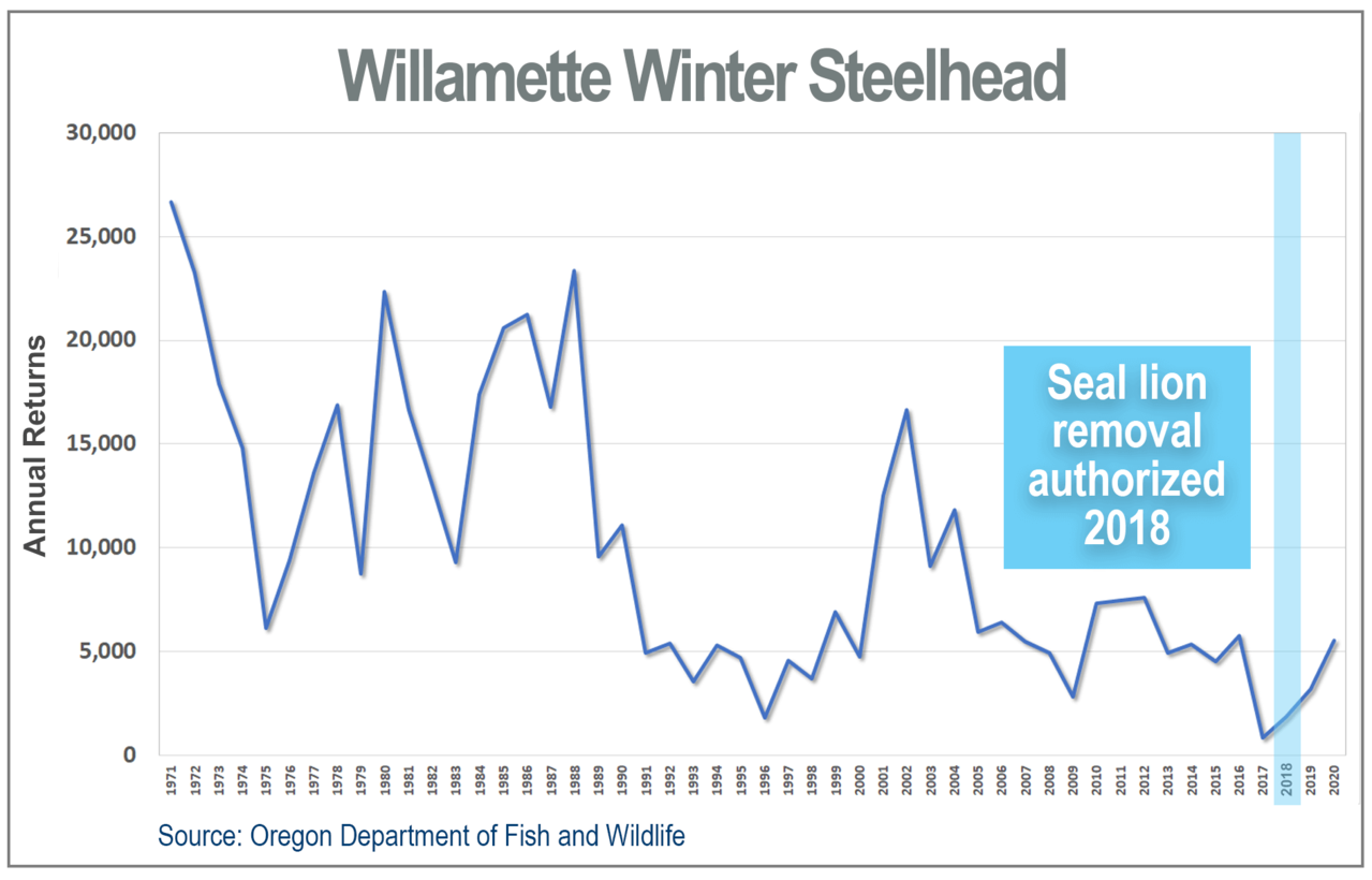Line graph showing decline in Willamette Winter Steelhead annual returns, 1971-2020