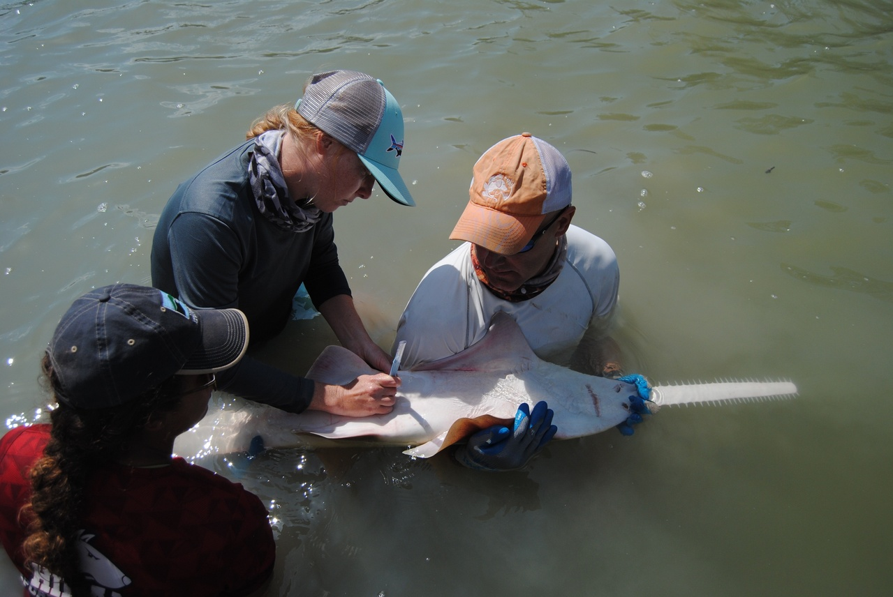 Scientists hold a juveline sawfish on its back to induce tonic immobility while they attach a satellite tag.