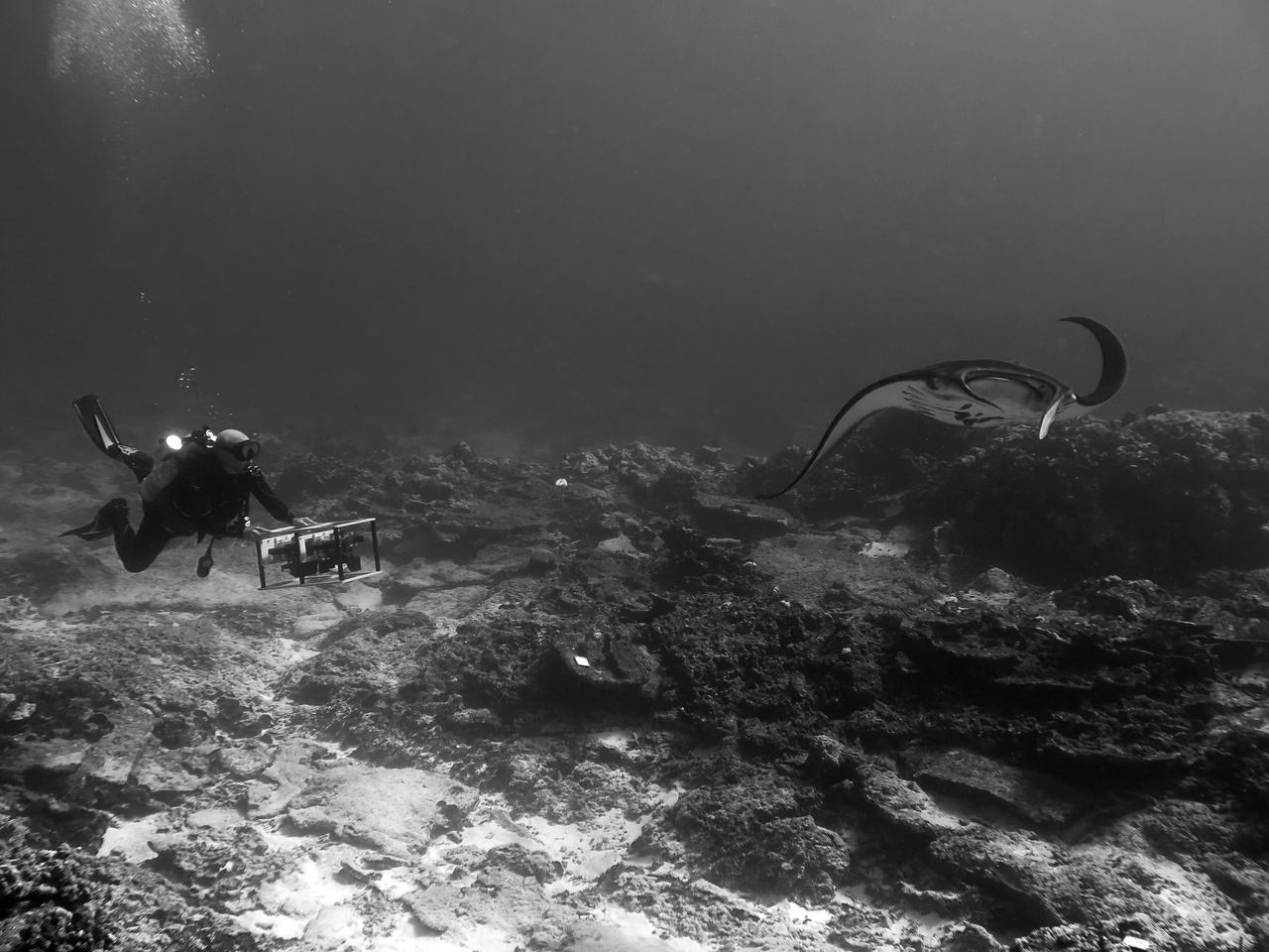 A manta ray supervises as scientist Ariel Halperin flies a camera rig to capture hundreds of images that will be stitched together into a 3D model of the reef. (Photo: NOAA Fisheries/Courtney Klepac)