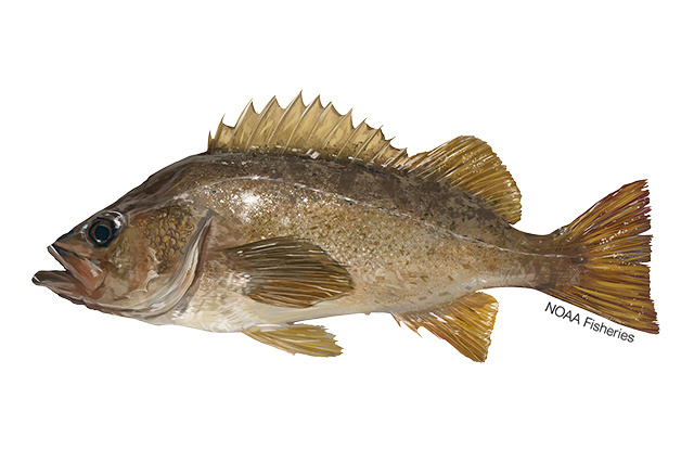 Yellowtail rockfish illustration