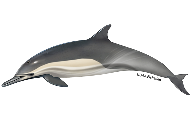 Long-beaked common dolphin illustration.