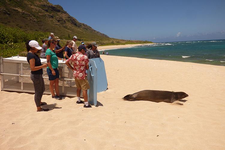 Monk seal release on an Oahu beach.