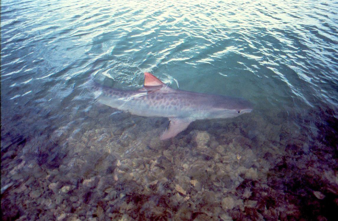 tiger-shark.jpg
