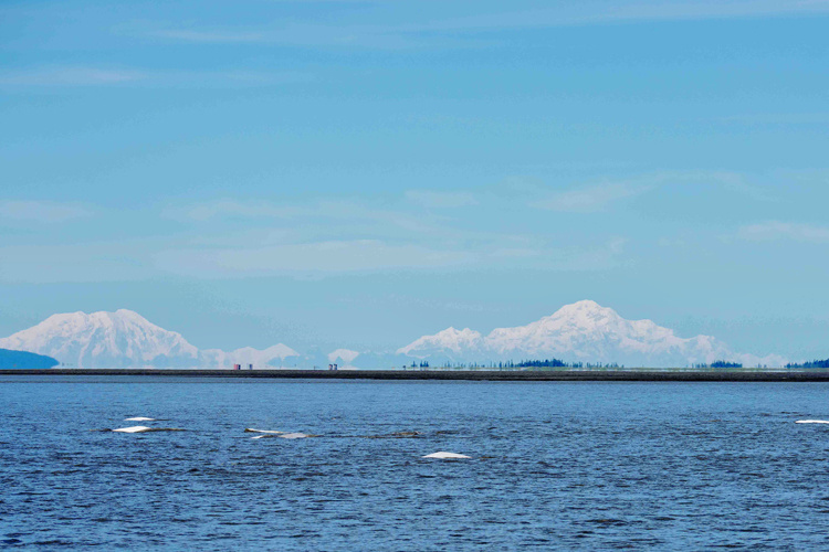 Cook Inlet beluga whale