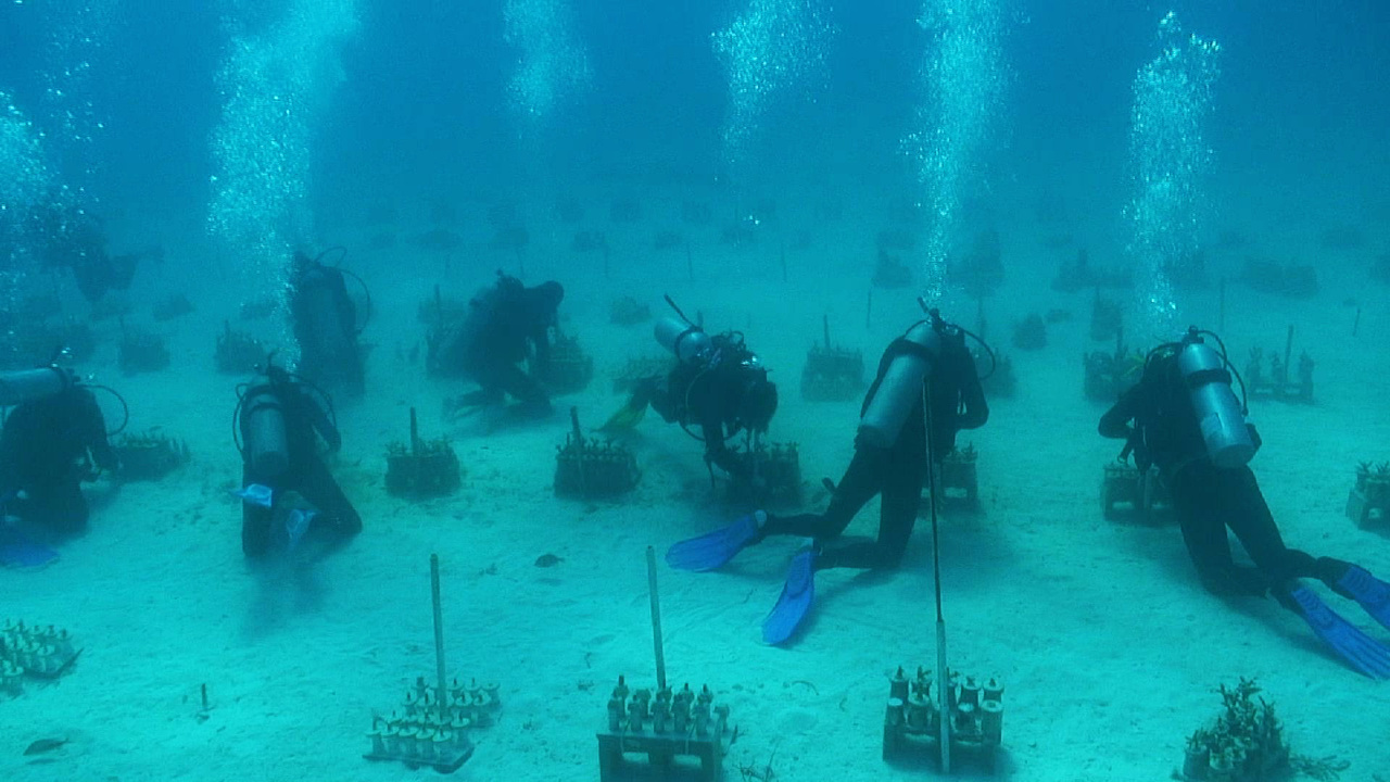 Team of divers working to replant corals.