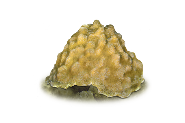 boulder star coral illustration
