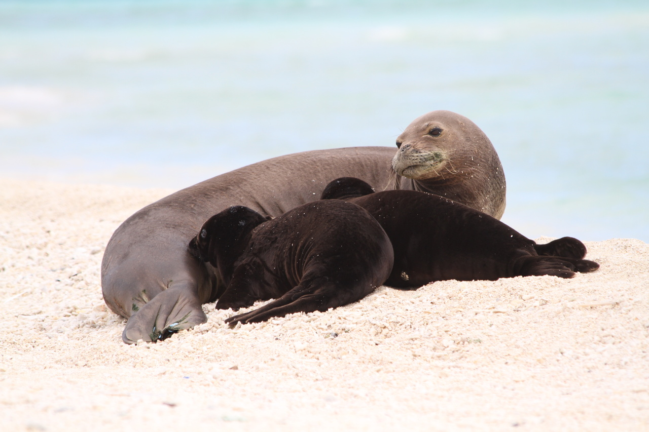 Hawaiian monk seal with twin pups.