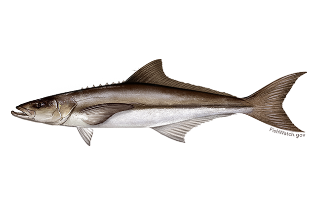 640x427-cobia.png