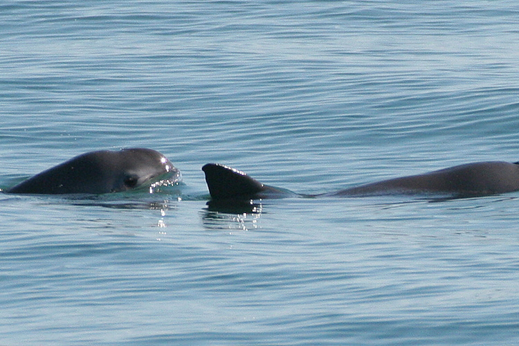 Two vaquita swimming in the ocean.