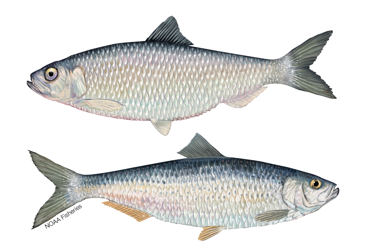Alewife and Blueback Herring illustration